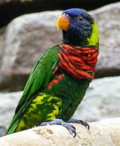 Rainbow Lorikeet Animals In The Wild Multi Colored Animal Wildlife Parrot Beauty In Nature Nature Day Perching One Animal Bird No People Close-up EyeEmNewHere