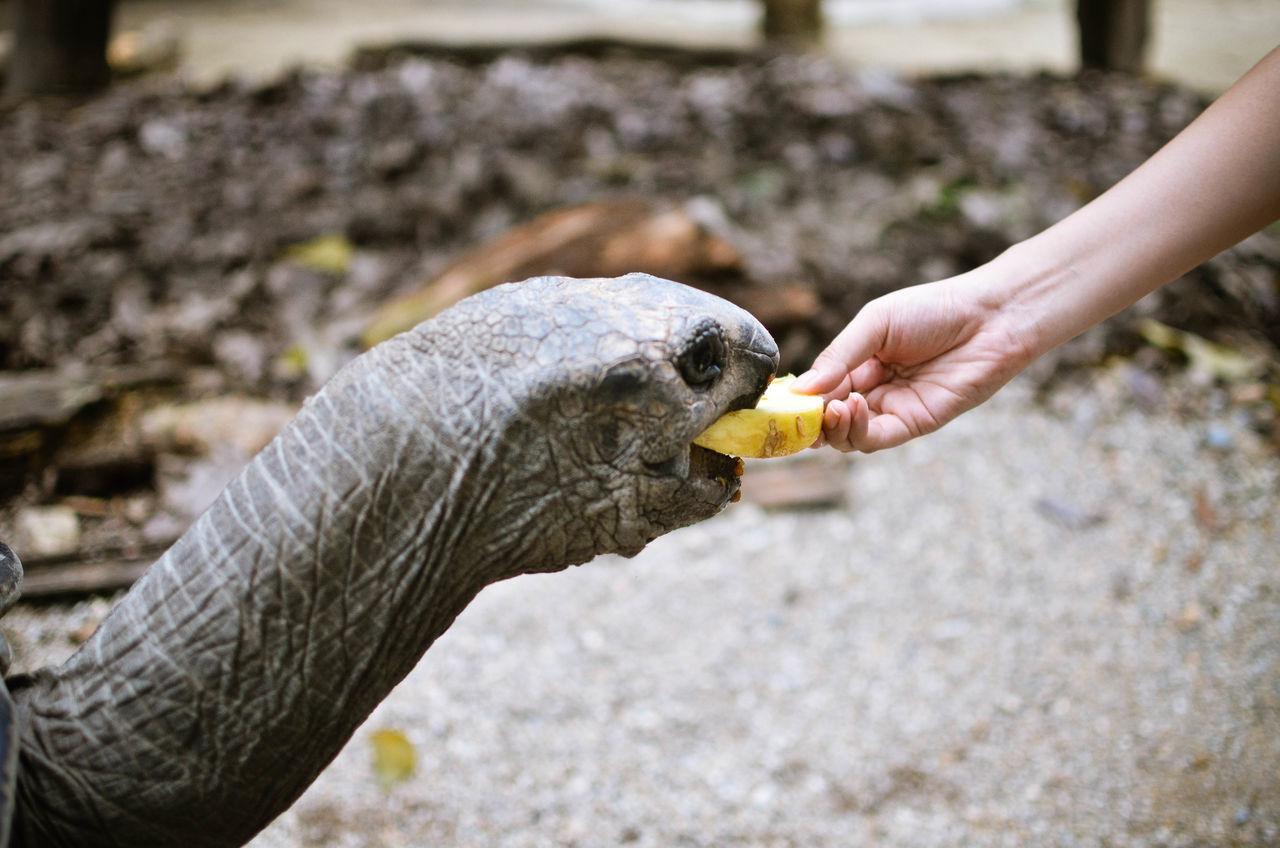 Cropped hand feeding tortoise