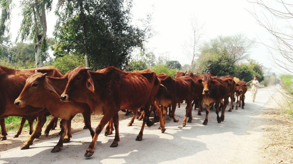 Cow Cows Cows!!! Cow Groups Hello World Taking Photos Check This Out Enjoying Life In Pakistan Pakistanphotochallenge SamsungJ7 InPakistan Mobile Click Mobilephotography Eyeem Pakistan Nawanlahore This Week On Eyeem