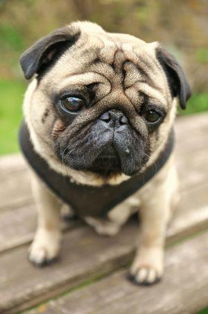 Doug the Pug. www.idjphotography.com Pug Pugs Puglife Dog Dogs Dog❤ Sad Cute Cute Pets Pets Up Close Street Photography