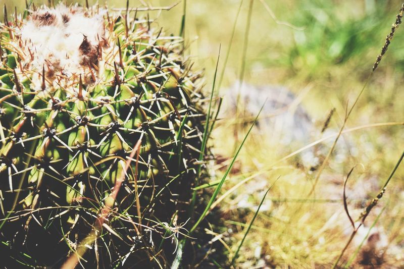 Growth Plant Nature Cactus Thorn Spiked Outdoors Danger No People Uncultivated Focus On Foreground Day Close-up Green Color Beauty In Nature Grass Prickly Pear Cactus The Great Outdoors - 2017 EyeEm Awards Live For The Story