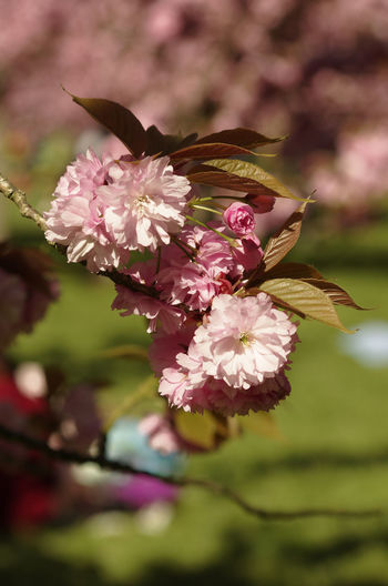 Close-up of fresh pink flowers blooming in tree