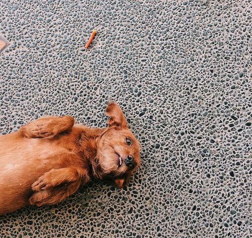 My dog, Hershey, asking for belly rubs. #mixeddogbreed Browndog Dog Minipinscher Mixedbreed Pets Poodlemix Smallbreed Smalldog