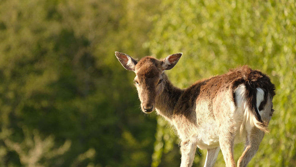 Animal Themes Animal Wildlife Animals In The Wild Close-up Copy Space Day Daylight Deer Ear EyeEmNewHere Forest Grass Mammal Nature No People One Animal Outdoors Portrait Rear View Rural Scene Sceptical Look Springtime Standing Sunshine