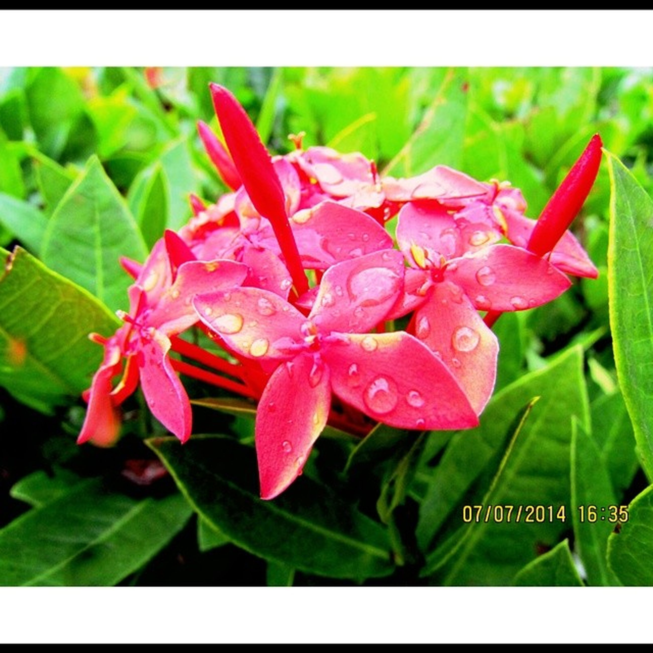 transfer print, flower, freshness, petal, fragility, growth, flower head, beauty in nature, auto post production filter, close-up, drop, leaf, plant, wet, nature, water, focus on foreground, blooming, green color, pink color