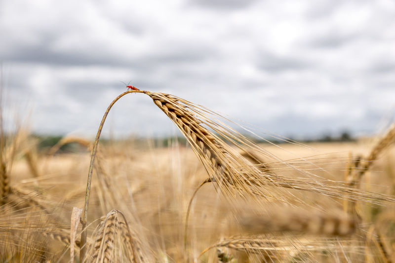 Close-up of insect on wheat crop