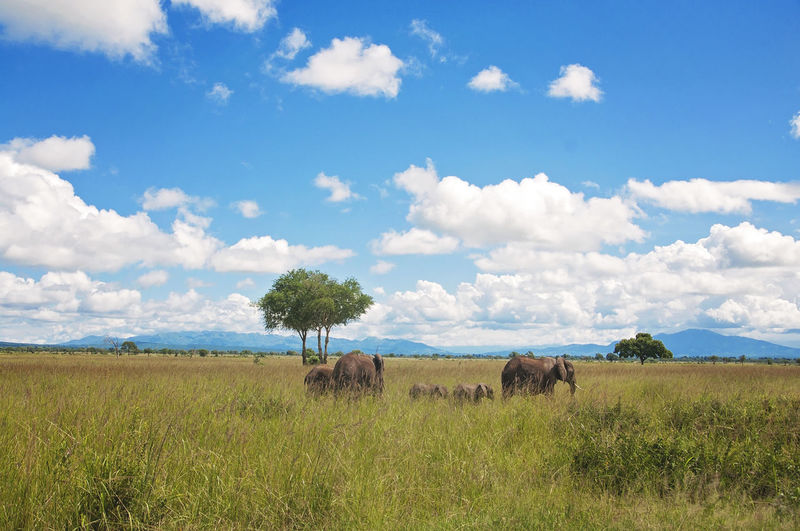 Mikumi National Park Check This Out EyeEm Best Shots EyeEm Nature Lover Taking Photos Tranquility Travel African Elephant Animal Themes Animals In The Wild Beauty In Nature Blue Cloud - Sky Day Elephant Field Grass Landscape Nature No People Outdoors Safari Animals Scenics Sky Travel Destinations Tree EyeEm Ready   Colour Your Horizn Summer Exploratorium