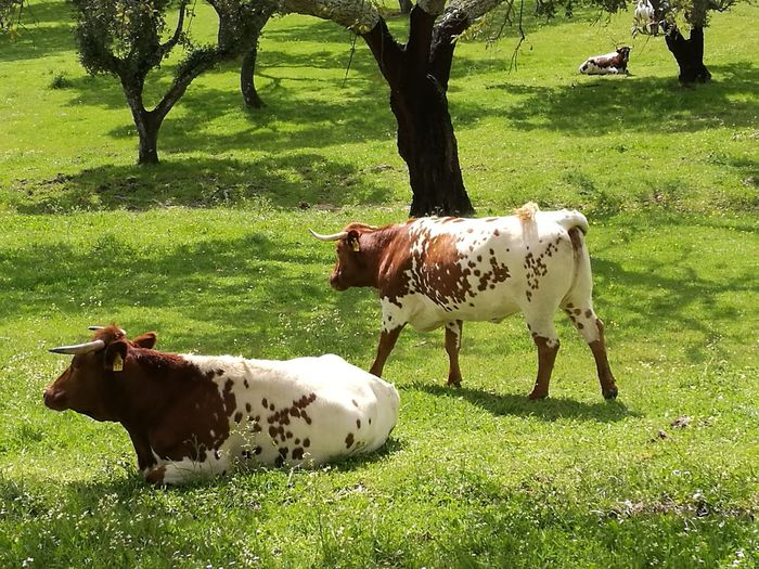 Farm Cows Cows In A Field Cows Grazing Grazing Tree Grazing Cow Togetherness Young Animal Field Grass Livestock Farm Animal Grassland Countryside Green Farmland Group Of Animals Herbivorous Pasture