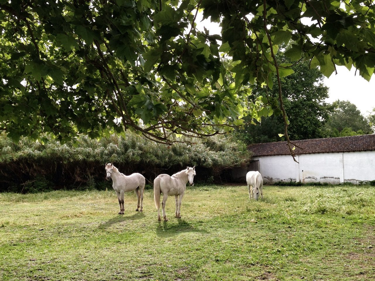 White horses standing at ranch