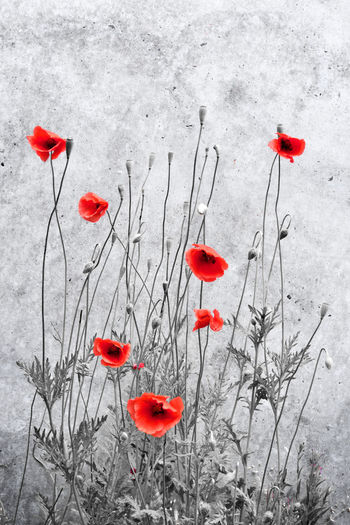 Red poppy flowers growing on plant