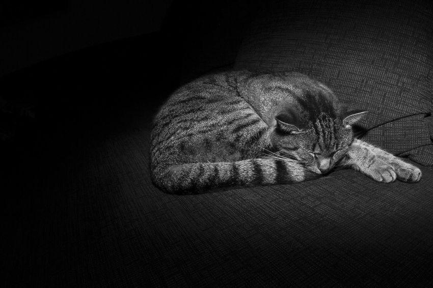 sleep Animal Themes Black Background Cat Grey Silence Silent Sleep Sleeping Cat