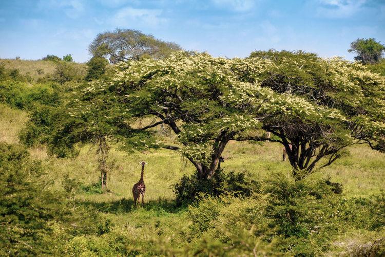Giraffe taking shade under a tree in Nairobi National Park. Plant Tree Nature Animal Animal Themes Environment Mammal Land Green Color Animal Wildlife Day Growth Field Landscape Beauty In Nature Animals In The Wild Grass One Animal Vertebrate Outdoors Herbivorous Giraffe Kenya Nairobi