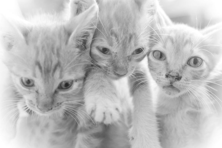 3 Little Kittens Mammal Domestic Cat Domestic Group Of Animals Young Animal Togetherness Looking At Camera Cute