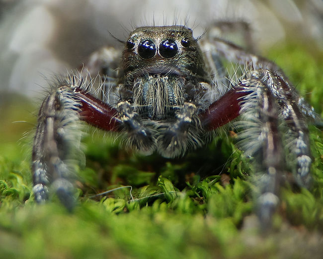 Spider One Animal Animals In The Wild Animal Wildlife Jumping Spider Animal Themes Day Nature Close-up No People Outdoors Portrait
