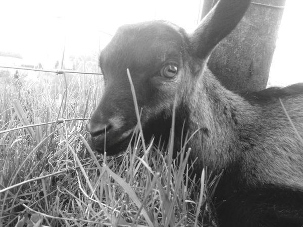 Goat Relaxing First Eyeem Photo