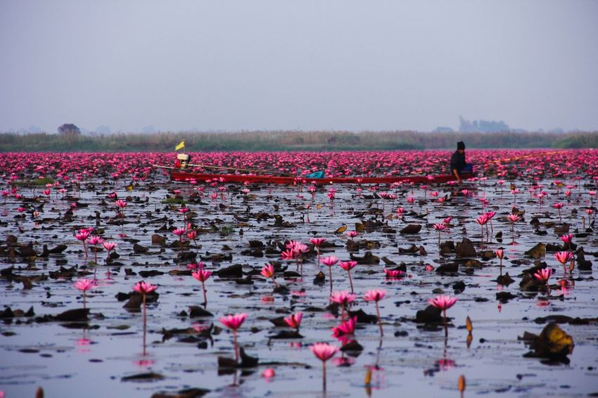 Red Lotus Lake Blooming Lotus Red Lotus In The Morning Lake Udon Thani กุมภวาปี Flower Collection