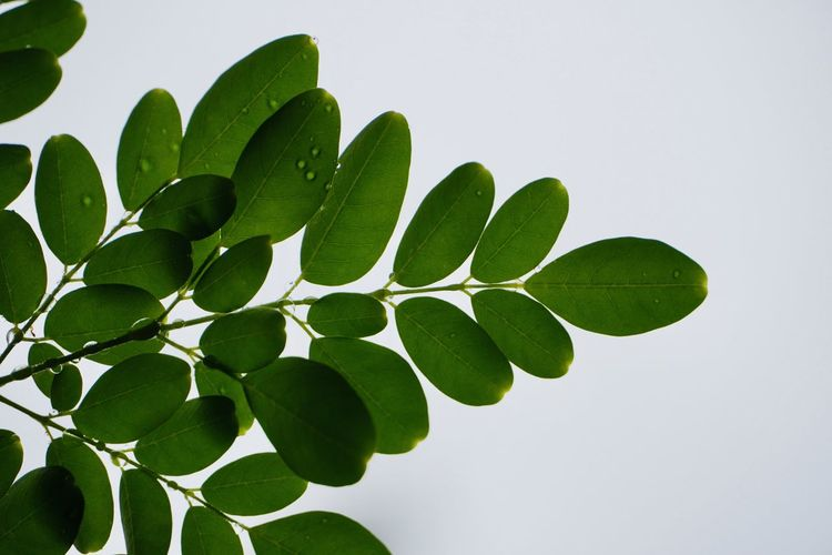 Low angle view of green leaves against white background