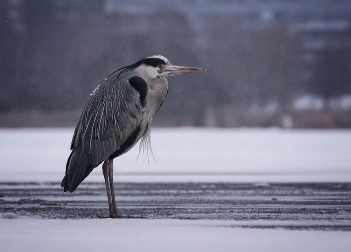 Showcase February 2018 Niklas Februari 2018 Grey Heron  Heron Animal Wildlife Bird Animals In The Wild One Animal No People Animal Themes Outdoors Day Nature Snow Water