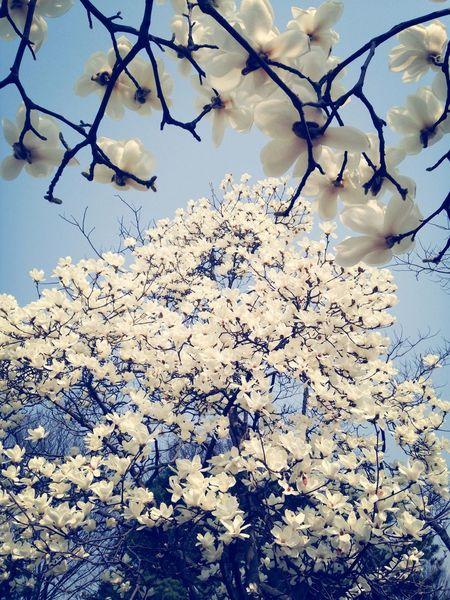 목련꽃이 너무너무 예쁘게 ! 날씨 좋다 *_*