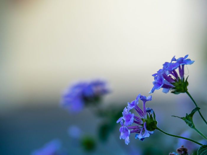 lilac blue flowers with extreme depth of field Beauty In Nature Blue Close-up Day Flower Flower Head Focus On Foreground Fragility Freshness Growth Lil Nature No People Outdoors Plant Purple