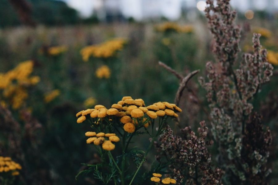 Tansy Focus On Foreground No People Close-up Outdoors Beauty In Nature Freshness Growth Nature Flower Plant Day Fragility Tree Flower Head Meadow Flowers Autumn Colours Autumn Colors Freshness Beauty In Nature Meadow Focus On Details Agriculture Night Backgrounds