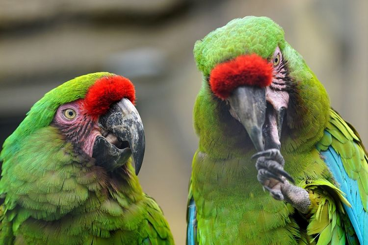 Parrot Bird Two Animals Animals In The Wild Animal Themes Focus On Foreground Nature Day Animal Wildlife Close-up Macaw Green Color Outdoors Multi Colored No People Gold And Blue Macaw Rainbow Lorikeet Beauty In Nature Animals Pet Portraits