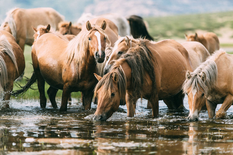 Horses drinking water in lake