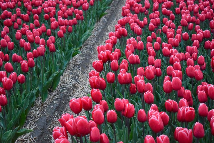 Close-up of red tulips growing in field