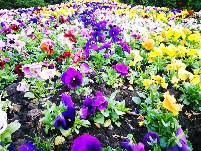 Nature Flowers Flower Field Petunias In Full Bloom Petunia Field Springtime Spring Flowers Flower Head Flower Multi Colored Petal Close-up Plant Petunia Purple Color Blooming Pansy Fragility In Bloom Plant Life