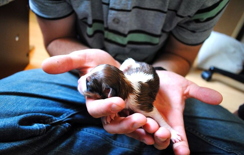 Midsection Of Man Holding Newborn Puppy