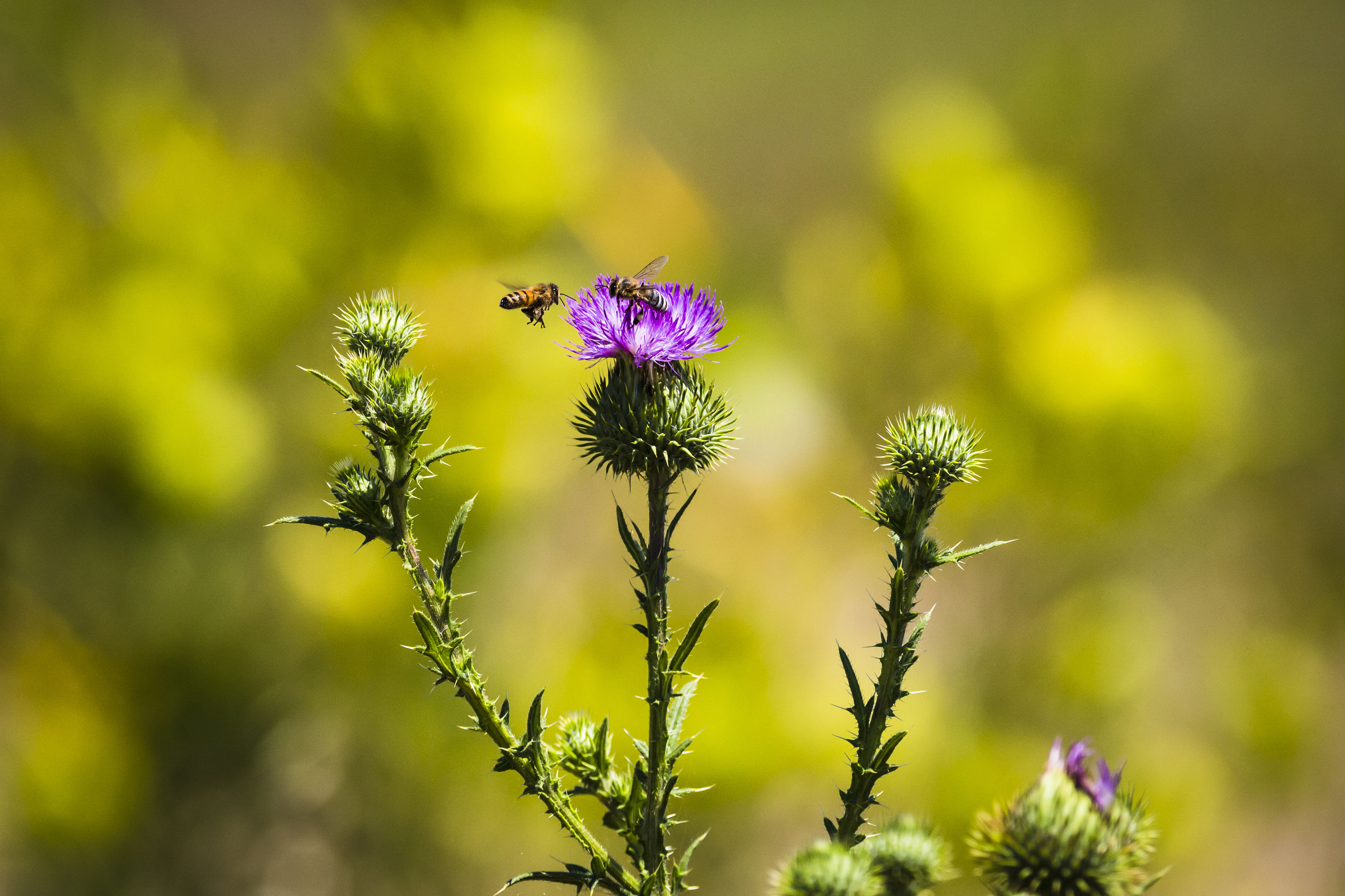flower, nature, beauty in nature, insect, purple, animal themes, fragility, growth, one animal, petal, plant, animals in the wild, focus on foreground, day, outdoors, bee, no people, pollination, animal wildlife, freshness, close-up, yellow, blooming, flower head, buzzing