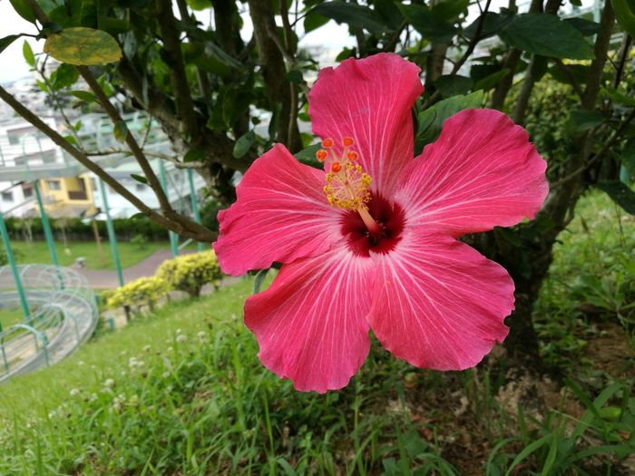 Flower Fragility Petal Nature Growth Flower Head Beauty In Nature Day Plant Freshness Outdoors No People Red Blooming Close-up Hibiscus