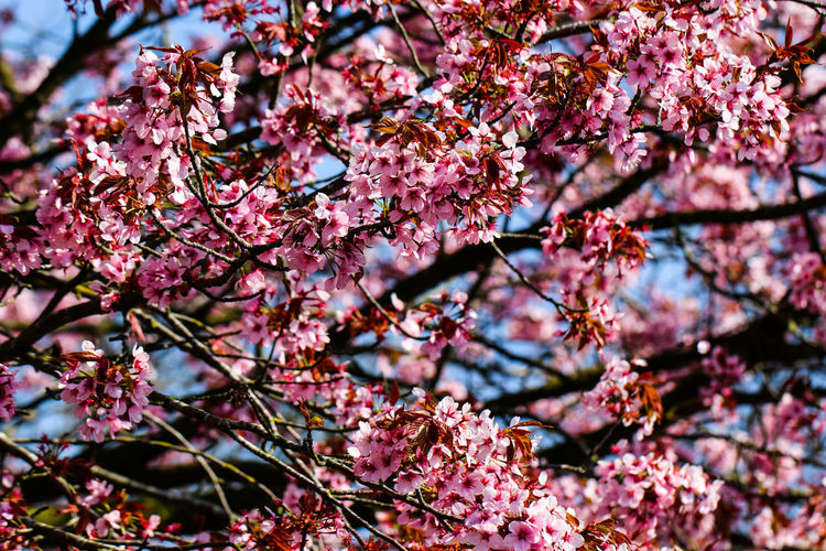 Plant Flowering Plant Flower Tree Growth Beauty In Nature Branch Pink Color Freshness Fragility Blossom Springtime Nature Day Vulnerability  No People Cherry Blossom Low Angle View Close-up Cherry Tree Outdoors Flower Head Spring Plum Blossom Bunch Of Flowers