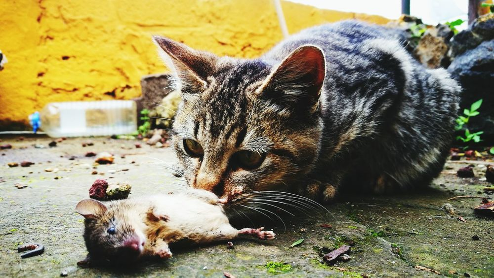 Animal Themes Domestic Animals Feline Mouse And Cat Cat Mouse Toy Cat Kill Killing Time Mammal One AnimalFeline Portraits Pets Tomcat Eye Cateye Relaxation No People Outdoors Animals In The Wild Day Close-up Ferocity