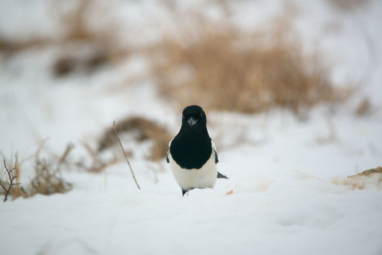 Magpie Magpie Bird Pica Pica Snow Winter Cold Temperature Animal Themes Bird Animal Animal Wildlife Animals In The Wild Vertebrate One Animal Covering Day Nature No People White Color Selective Focus Perching Land Beauty In Nature Outdoors
