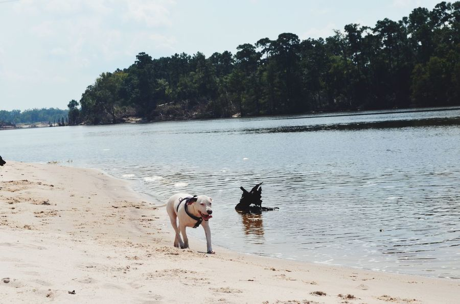 EyeEm Selects Pets Animal Themes Dog Nature Beach Day Beauty In Nature Outdoors Water River Playing Dogs Two