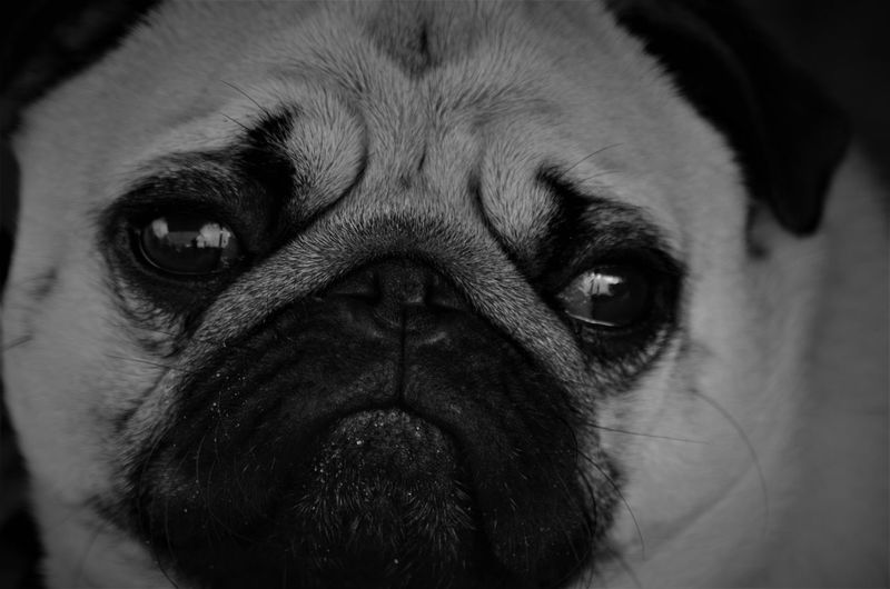 One Animal Dog Canine Pets Domestic Animal Themes Domestic Animals Animal Mammal Animal Body Part Pug Close-up Animal Head  Lap Dog Vertebrate Portrait Looking At Camera Small No People Indoors  Snout Animal Mouth Animal Eye Animal Nose Black And White