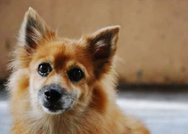 Dog Pets One Animal Looking At Camera Animal Hair Animal Themes Close-up Outdoors Day Big Eyes♡ Brown Color Cute Female Cute Pets Pomeranian Dog Indoors  No People Looking At Camera Old Puppy