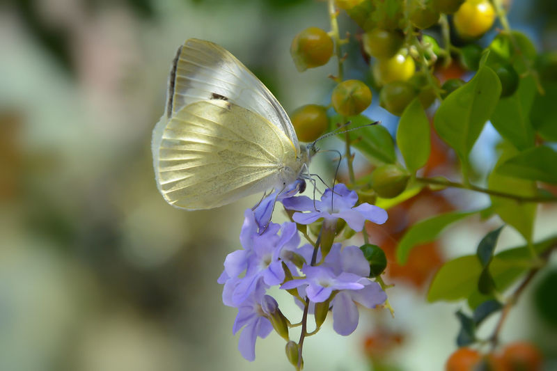 Butterfly ❤ Animal Animal Themes Animal Wildlife Animals In The Wild Beauty In Nature Butterfly - Insect Close-up Day Flower Flower Head Flowering Plant Fragility Freshness Nature Petal Purple
