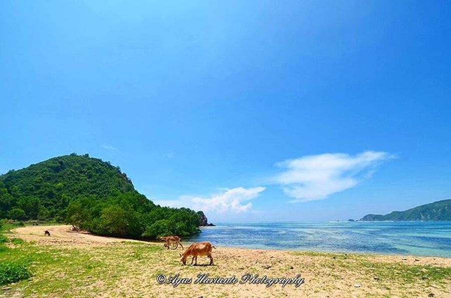 Just captured at beach front Agushariantophotography Beach Goat Whitesandybeach Bluesky Sunny Lombokisland Livingthedream Hillside