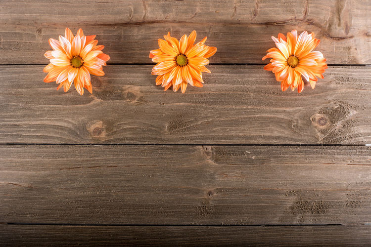Three orange daisies form a linear border on wood background Autumn Copy Space Text Wood Background Blank Flower Flower Head Orange Color Thankgsiving Three Trio Varigated
