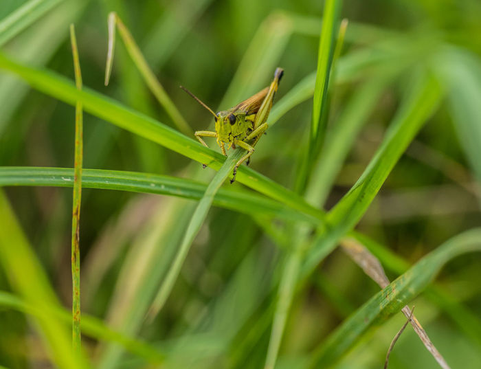 Grashpper on a grass leaf Grashüpfer Animal Animal Themes Animal Wildlife Animals In The Wild Blade Of Grass Close-up Day Focus On Foreground Grashopper Heuschrecke Grass Green Color Insect Insect, Leaf Nature One Animal Outdoors Plant Plant Part Animal Antenna Grasshopper