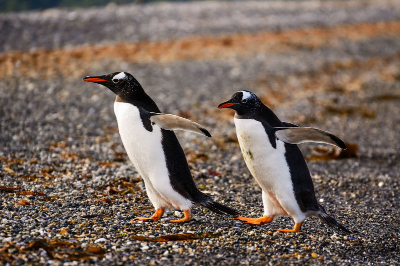 Full length of penguins on shore