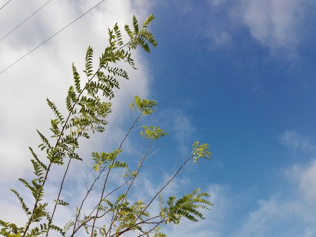 Acacia Branches Uppon Sky Acacia Acacia Tree Acacia Branches Acacia Leaves Sky Cloud - Sky No People Nature Day Low Angle View Outdoors Beauty In Nature Tree Branch Huaweiphotography Eyeem Market Ionita Veronica Veronica Ionita Wolfzuachiv WOLFZUACHiV Photos On Market Huawei Photography WOLFZUACHiV Photography No Person