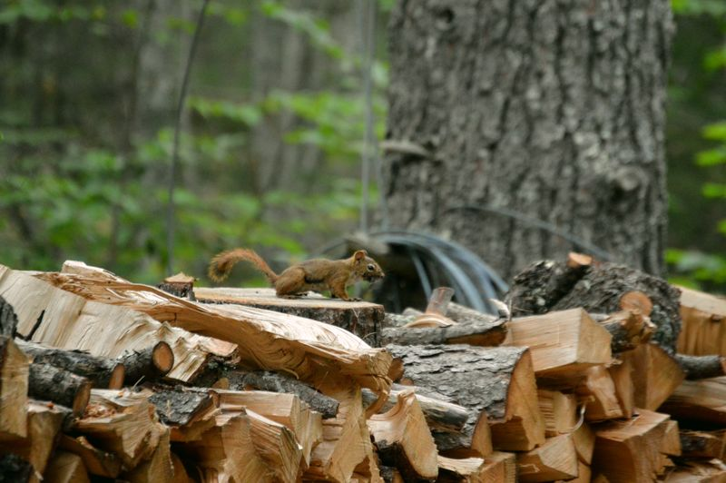 Chimpmunk Day Firewood Focus On Foreground Forest Land Log Plant Stack Timber Tree Trunk Trunk Wood