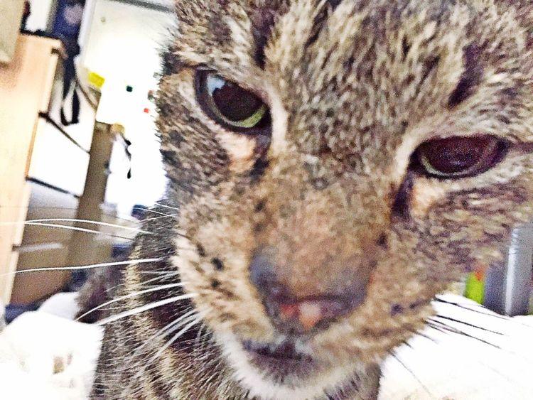 """No respect"". (Pt1) Cats Rescuecat Cats Of EyeEm Nosleep  Feline Morning Wakeup Feedmenow Animal ShotOniPhone6"