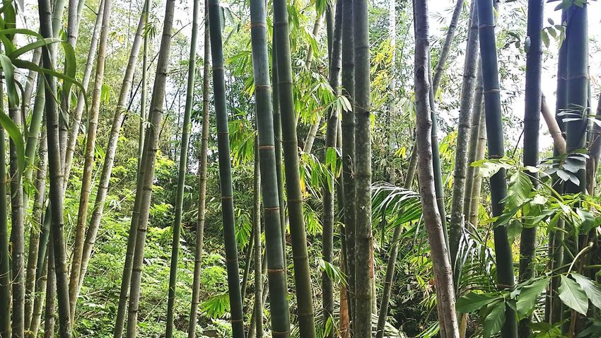 Bamboo Bamboo Trees Bamboo Forest Green Perspectives On Nature