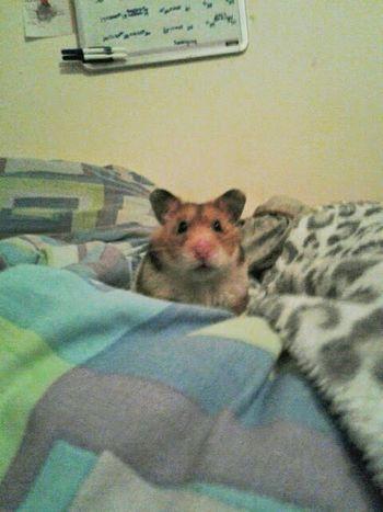 Eda plays peek-a-boo! Hamster Love Syrian Hamster  Cute Pets R.I.P