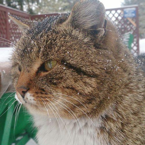 Взгляд  кот харизма фотогеничность Extremely Charismatik Cat Photogenic  зима спокойствие