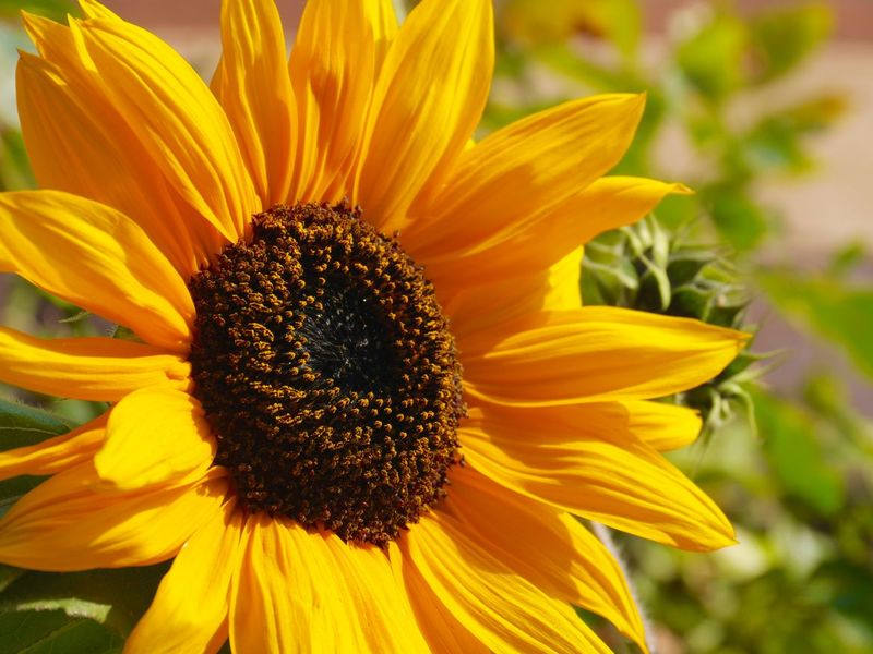 With a Sun Flower in the golden October sun I want to thank all for the great support and feedbacks!!! With Big Steps To Autumne🍃🍂 Eyem Best Shots Tadaa Community A Heart For Flowers